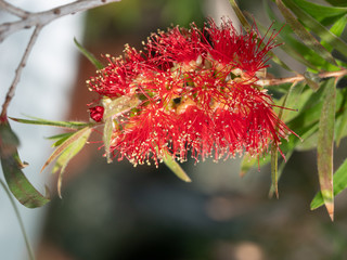Callistemon citrinus plant with green and red leaves citrius