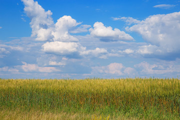 Wheat field under blue sky with clouds. Rural landscape. Plant growing.