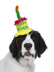 Head shot of black and white Landseer puppy dog wearing a bright coloured happy birthday hat isolated on white background