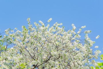 close up of cherry tree in bloom against blue sky
