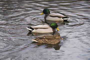 ducks in water, in good weather