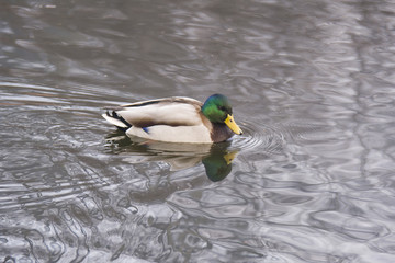 duck in water, looking at his reflection