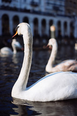 White swan swimming on Alster river canal near city hall in Hamburg