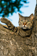 Close up of dragon li cat lying on tree trunk