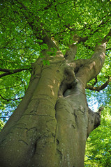 vertical view of a tall old beech tree on a spring morning with vibrant green leaves with blue sky and sunlight shining thought the canopy