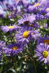 purple flowers in garden, vertical
