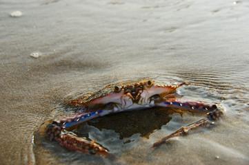 floating blue crab