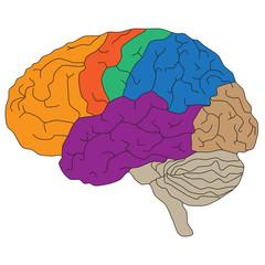 Brain hemispheres. Vector illustration for scientific and medical presentations