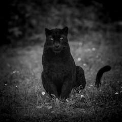 Poster Panther Black Panther Animal