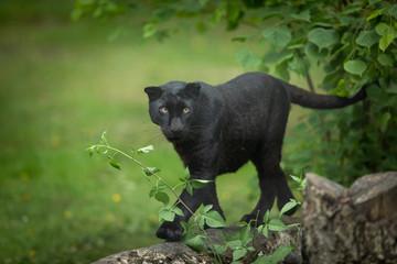 Deurstickers Panter Black Panther Animal