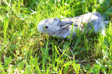 little grey rabbit in the grass