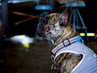 Tiger french bulldog in Coffee Cafe with dark background