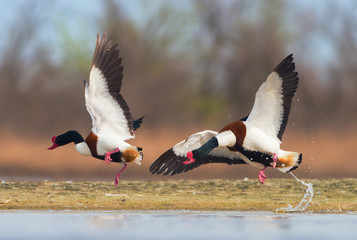 Common shelduck male chasing rival from territory - Tadorna tadorna