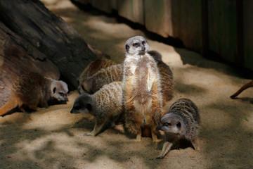 Wild African Meerkats in action