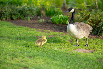 Wild Canadian goose and its baby duckling on the grass in a park