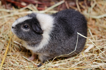 Grey-white adult domestic guinea pig