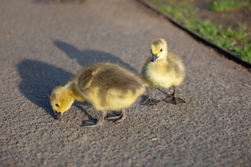 Two baby goose duckling chick on the road in the sunshine