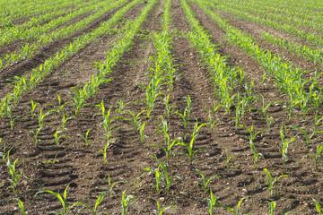 Agricoltura, Campo Coltivato, Granoturco Pannocchie, Agriculture, Cultivated Field, Corn Cobs,
