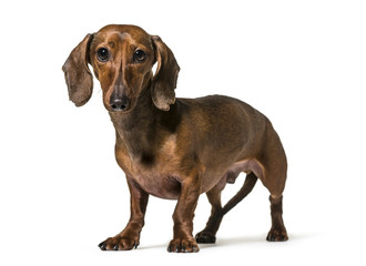 Dachshund dog , 2.5 years old, standing against white background