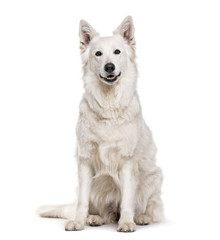Swiss White Shepherd dog , 4 years old, sitting against white background