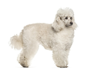 Poodle dog , 6 years old, standing against white background