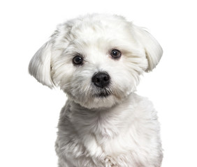 Maltese dog , 11 months old, against white background