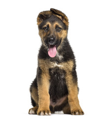 German Shepherd puppy , 3 months old, sitting against white background
