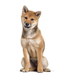Shiba Inu dog sitting against white background