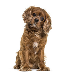 Cavalier King Charles dog sitting against white background