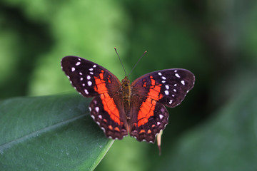 Tropical scarlet peacock butterfly
