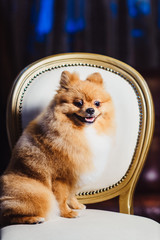 A cute Pomeranian dog with red hair like a fox lounging on the chair