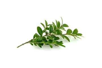 Boxwood branch on a white background isolated.