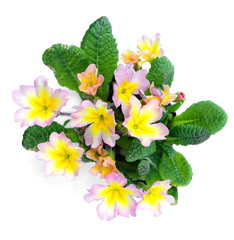 Early spring: Primroses isolated on white. (Primula vulgaris)