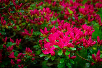 Rhododendron Japonicum with pink azalea. Fuchsia, violet flowers blooming in close-up.