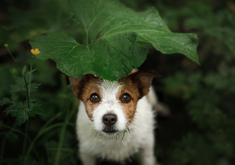 a small dog in the rain hides under a leaf. Dog cute Jack Russell Terrier in nature hiding from the rain under the leaf