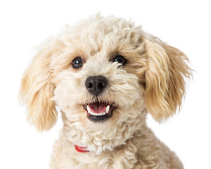 Closeup Happy Poodle Crossbreed Dog