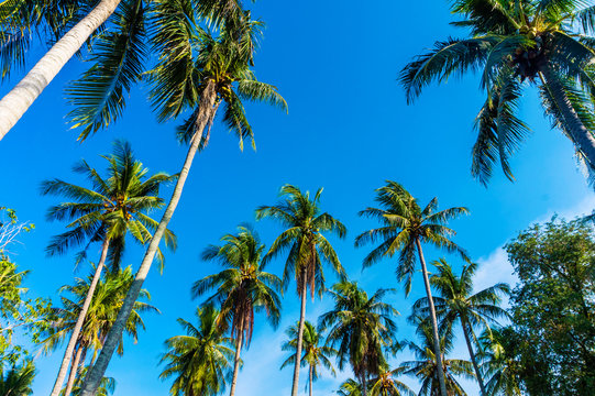 Coconut Palm trees against blue sky. Tropical and exotic landscape.