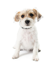 Cute Tan and White Terrier Puppy Dog Sitting