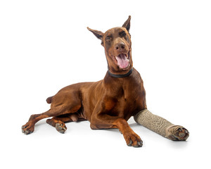 Doberman Pinscher Dog With Broken Leg