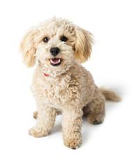 Friendly Happy Poodle Crossbreed Dog Sitting