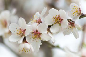 Almond orchard near Hustopece, Czech Republic, Europe