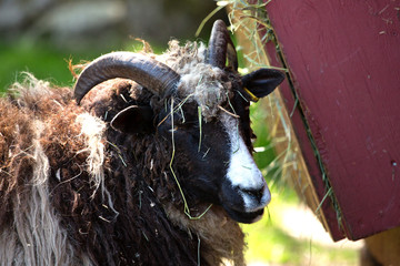 goat, billy goat, horns, farm animals, animals, wooly