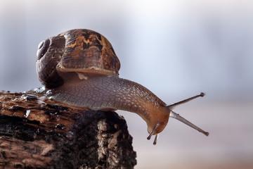 Garden Snail on a log, Close up