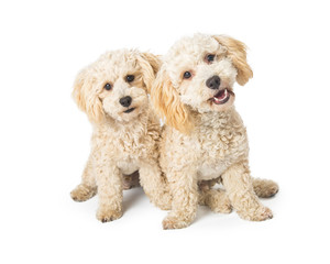 Two Cute Poodle Crossbreed Dogs on White