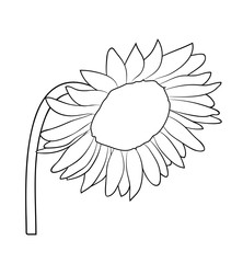 Vector illustration, isolated sunflower in black and white colors, outline hand painted drawing