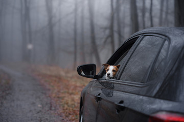 small dog in the car. The Jack Russell Terrier is traveling. In the fog in the forest.
