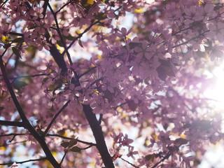 Cherry blossom trees at the Roihuvuoren Kirsikkapuisto in Helsinki, Finland