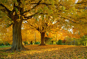 Beautiful Maple Trees Golden in Evening Light