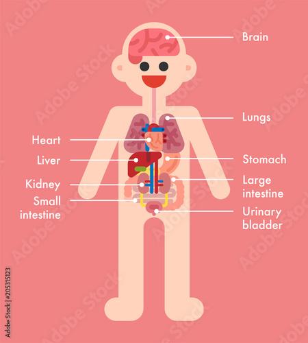 human body internal organs name vector flat design illustration set ...