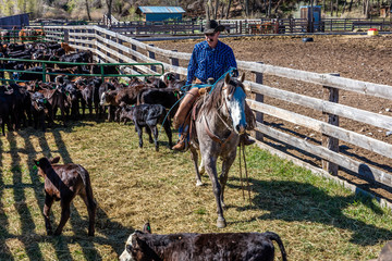 """APRIL 22, 2017, RIDGWAY COLORADO: Cowboys """"ropes and drags"""" calves for cattle branding on Centennial Ranch, Ridgway, Colorado - a ranch with Angus/Hereford cross breed owned by Vince Kotny"""